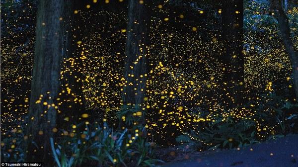 Japanese lighting bug, Travel to Japan